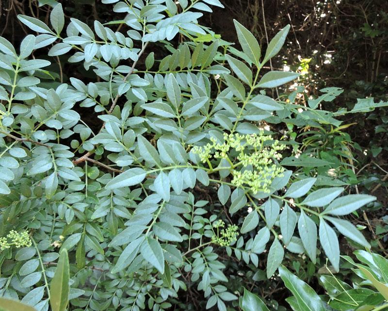 これも昨日北九州市の郊外で見た野の花です。葉の形はサンショウのように思いますが、サンショウでしょうか?良い香りがしませんでした。別のイヌザンショウでしょうか?