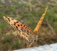 添付画像の蝶の種類と名前を教えてください。