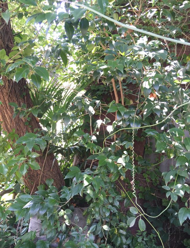 この植物の名前はなんでしょうか。 つる性植物を調べています。近所にいい感じに巻いている植物が生えているのですが、名前がわかりません。写真のつるの植物です。 詳しい方是非教えてください!よろしくお願いします!