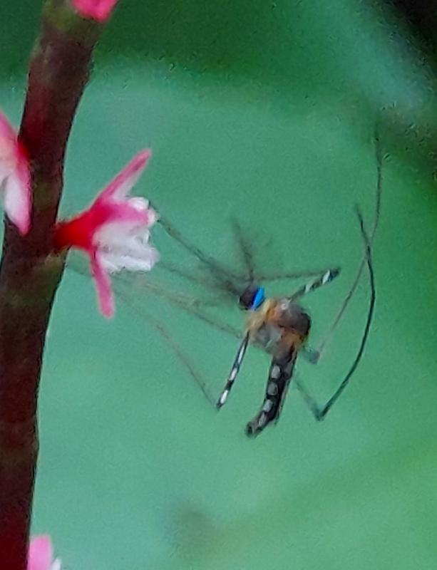 この蚊のような昆虫は何というのでしょうか?
