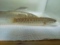 近くの農業用水路いたヒョウモン柄の魚です。名前をご存知の方教えてください。