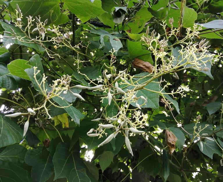 高さ数メートルの樹に緑の細長い実が生っています。 葉は掌より少し大きい三叉状です。 何と言う植物かご存知の方がいらっしゃいましたらお教え下さい!