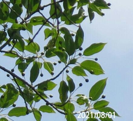 アオハダの実ですか?地に青い実が落ちてました、 8mの大木でした、 岐阜県米田白山で、 撮影20210801