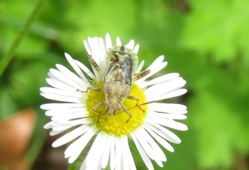 どなたか、この昆虫の名前を教えていただけないでしょうか。7月29日、京都で撮りました。カメムシの仲間でしょうか。