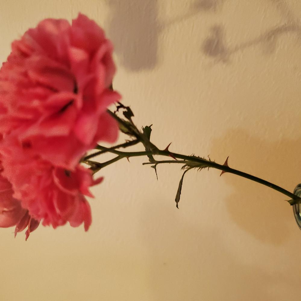 この花はなんですか? 庭先で自生しており、カーネーションかと思いましたがトゲがあり葉っぱも違いました。 バラ?とも思いましたがバラの香りがしません。 お詳しい方よろしくお願いいたします!