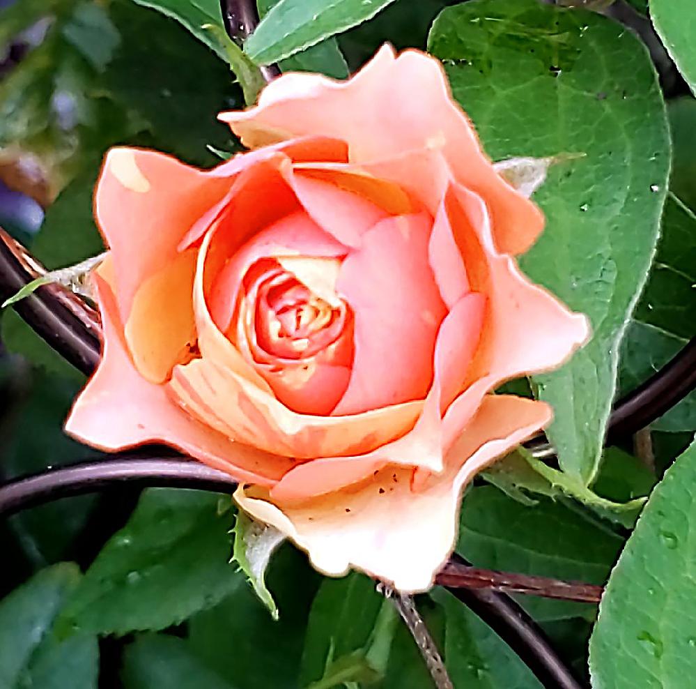 自宅の庭で開花した薔薇です 結構オレンジが濃い花びらです。品種がわかれば教えてくださいませんか?