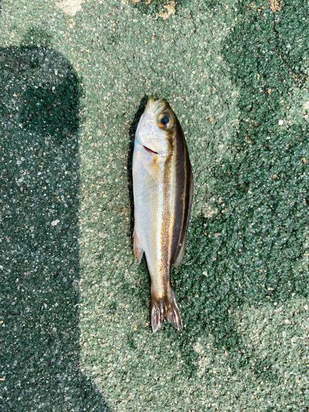 この魚は何か教えてください。 釣り初心者です。 大きさは 5センチから12センチほどのものが数匹釣れました。
