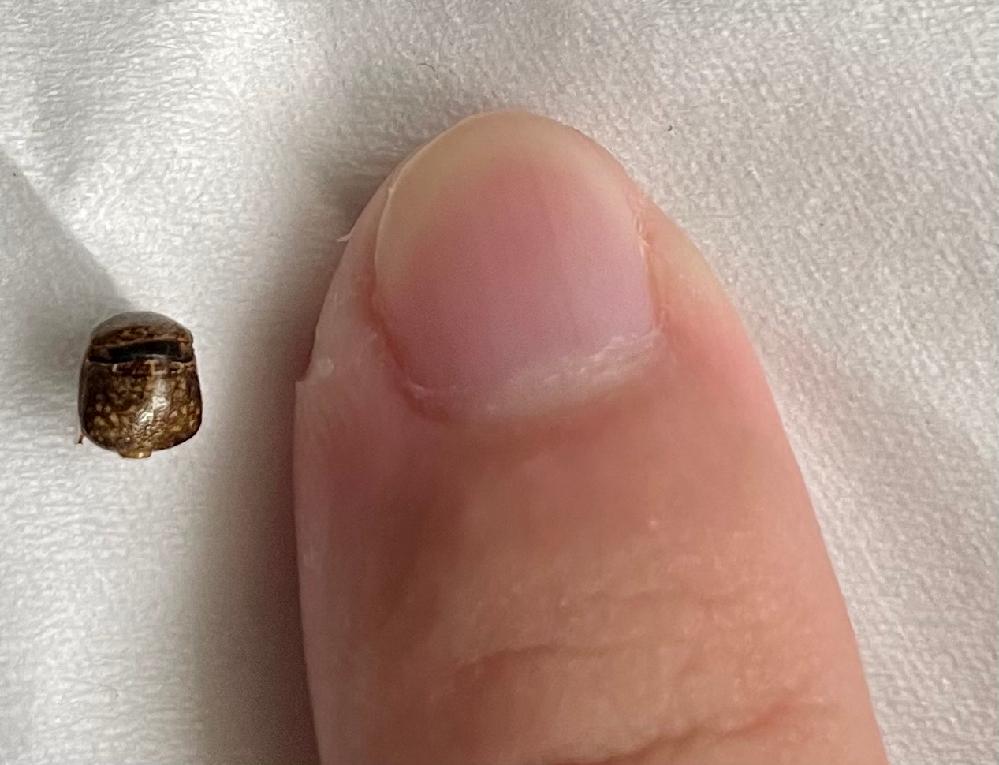 下記の写真のダニのような昆虫の名前が知りたいです。 最近家の中によく見かけるのですが屋内の虫ですか?また危険性はありますか?教えてください。