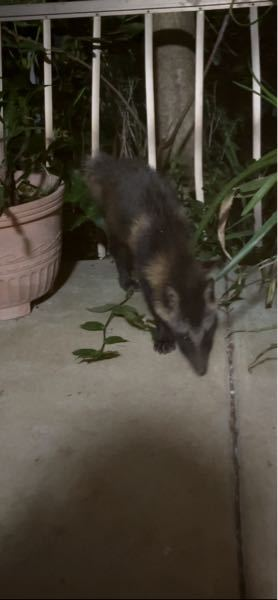 先日猫が外に出てしまい、探していたら家の前にこんな動物がいました。 猫の餌を少しまいて撮影しました。 ハクビシンにしては、鼻筋の特徴がありません。 わかる方いましたらよろしくお願いします。