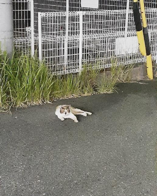 コンビニの駐車場で野良猫を見つけました。 遠巻きに眺めていましたが暫くのあいだ画像の通りの格好をしていて、頭と前足は僅かに動かすものの後ろ足は伸ばしたままの状態でした。 もしかして後ろ足を車に轢かれて怪我でもしてるのか?と思い様子を見にギリギリまで近付くと猫が起き上がって何歩か歩いたので、無事を確認した私は後ずさりしました。 すると猫はわずか数十cm離れた所に、先程までとまったく同じポーズで座り込みました。 歩く様子は通常の猫と変わりないように見えましたが、実は弱っていたのでしょうか。 それともくつろいでいただけ?! もうそのコンビニを出てしまったので野良猫の今の状態は確認出来ませんが、今更ながら気になってきました。 野良猫はこちらが近付くとすぐに逃げてしまうというイメージがありますが、触れられるギリギリまで近寄ってようやく立ち上がった事、そこから逃げるわけでもなく数歩歩いただけでまた座り込んでしまったのでよっぽど調子が悪かったのか…それとも人慣れしているだけなのか… 猫にお詳しい方、今後のためにもよろしければ教えてください。