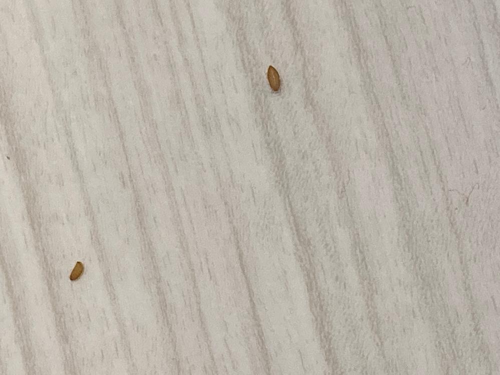 この小さな虫の卵的なものは何でしょうか? 当方一人暮らしをしているをしているものですが、このオレンジ色?の物体が気になって生きた心地がしていない状況です。一応情報としては全く動いていない、部屋の一ヶ所一畳くらいの場所に20個くらい存在(その中で密集しているわけでは無い)、潰すと透明な液的なものが出る、私の家はそんなに綺麗では無い、ここ半日くらいで突然現れた、これくらいでしょうか。些細なことでも構いませんので情報お願いします。