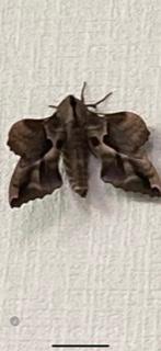 この蛾は何と言う種類でしょうか?