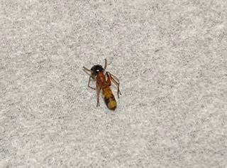 部屋の中で腕が痒いと思ったら写真に写っている虫が腕を這っていたのですが、この虫がなんという虫かわかる方がいれば教えていただきたいです。 よろしくお願い致します。