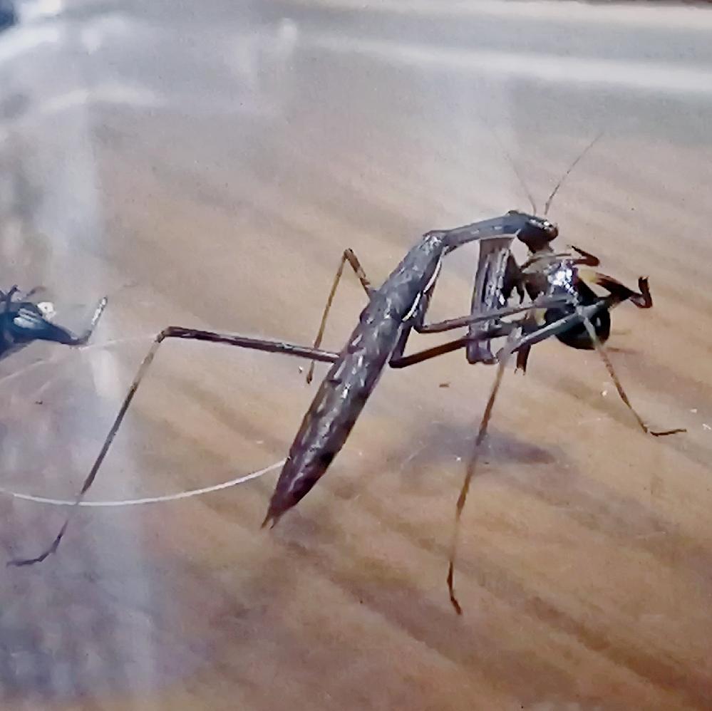 写真のカマキリは何カマキリだと思いますか? 何故か家の中にいました。 大きさは2cmほどの幼虫です。 ちょうど爬虫類の餌として飼育中のフタホシベビーがいましたので与えました。 コオロギは3齢幼虫です(カマキリのおおよその大きさが伝わると思います) 色が茶褐色というよりは黒に近いので、コカマキリかな?と思うのですが、いかがでしょうか?