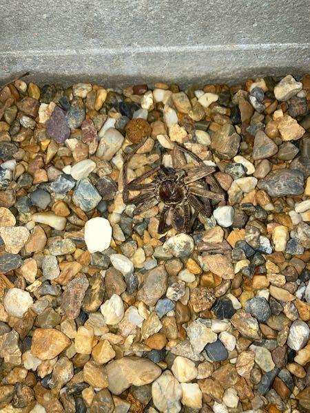 自宅庭に蜘蛛が死んでいました。 何という種類の蜘蛛ですか? 又、有毒でしょうか? 大きさは3〜5センチくらいあったような気がします。 宜しくお願いします。