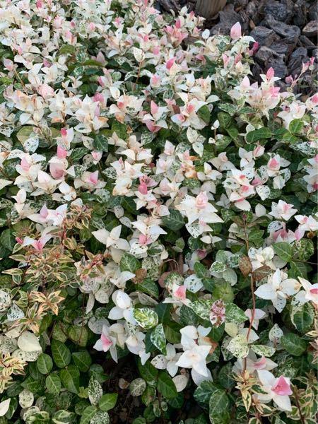花?草?の名前を教えて下さい。 道端で写真の花をみたらすごく可愛いと思いました。 自宅にも植えようと考えてますが、この花?草?の名前をご存知でしたら教えてください。