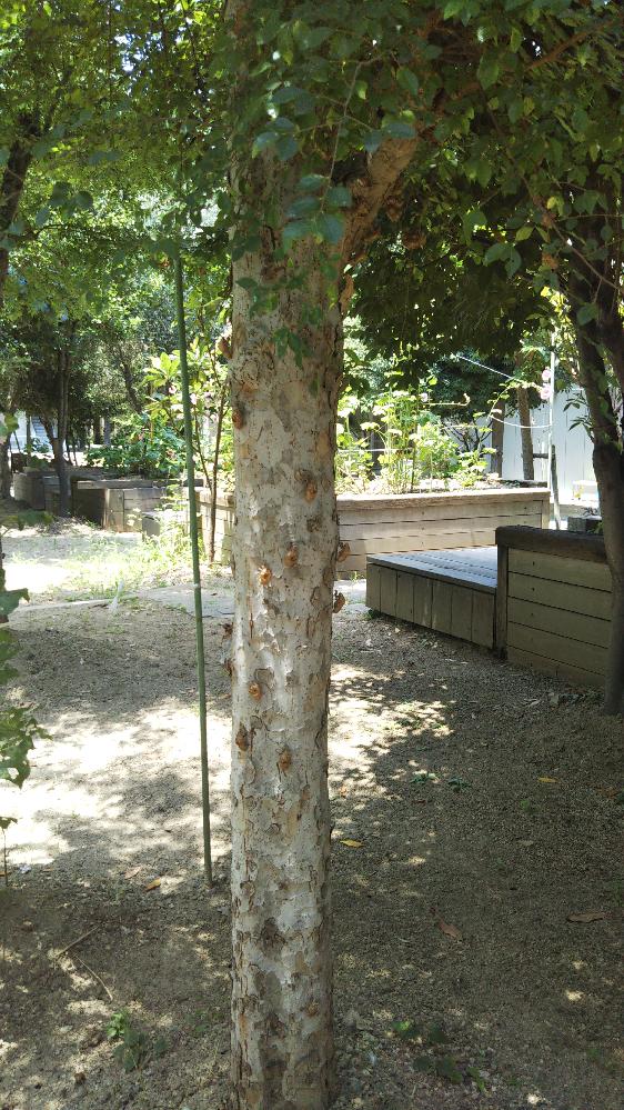 この木の名前はなんですか? セミの脱け殻がめっちゃついてます。