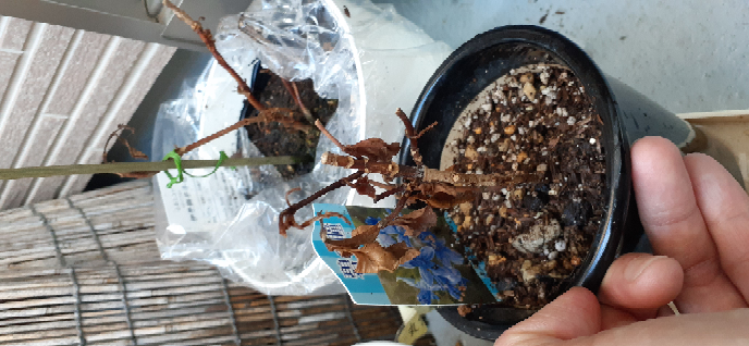 アジサイについて教えてください。 手前が碧の瞳、奥が伊予獅子てまりです。今年購入した小さな株です。 花後、葉が落ち、新芽も出てきません。ダンスパートナーやいわゆる普通のアジサイの指し芽はどんどん葉が出来て開いていくのに、この子達は根を切ったわけでもなくそのままなのに(買ってすぐに鉢を植え替え+土を足した)、芽の出る素振りも見えません。 駄目になってしまったんでしょうか。確認の仕方を教えてください