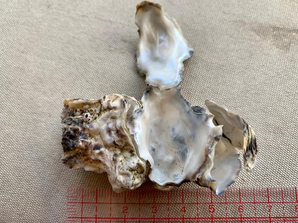 娘とひろいました。 これは、牡蠣の貝殻でしょうか?? 内側はつるつるでとてもキレイです。