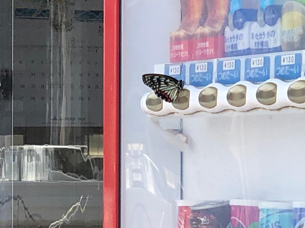 今日綺麗な蝶がいたので写真をとりました。 この蝶は何という種類の蝶ですか? 教えて頂ければ幸いです。