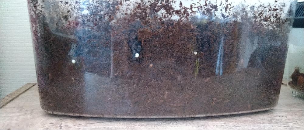 カブトムシのことで質問させてください(_ _) 先日交配後のメスを産卵マットに移動させて1週間たった今日マットの確認をしてみました。すると、20個ほど卵があったのでもう十分だと思い、メスを普通の木くずのお部屋に入れて休憩してもらおうと思ったのですが、土に潜りたいのかまだ産みたいのか木くずの部屋から出せだせ~とずーともがいています。 ただこのメスは幼虫から育てたかわいいこなので長生きしてほしいし幼虫の数もたくさんは私も育てられないのでこのくらいでとおもっているのですが、 このやり方で良いのでしょうか? あと、卵は乾燥させてるとよくないと先日アドバイスを頂いたのでマットは保水して卵を間隔あけて20個並べて様子を見ています。 この卵があるマットはこれからどれくらいの間隔で保水したら良いのでしょうか? まずは卵から幼虫になれるように育てていきたいと思います。 アドバイスよろしくお願いします(_ _)