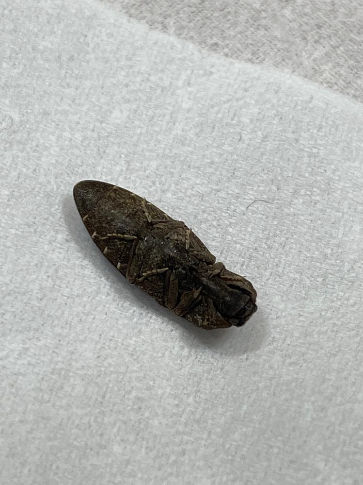 帰宅したら丸くなって転がってたのですが、この虫は何という虫ですか? 写真撮ってたら脚を動かしはじめまだ生きてました