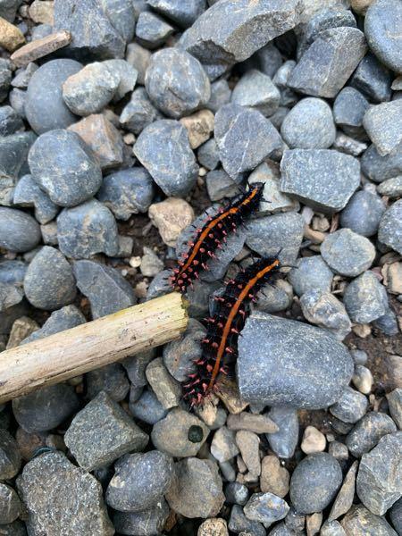 何の幼虫なんでしょうか? 毒の有無などもわかったら教えてください。 宜しくお願い致します。