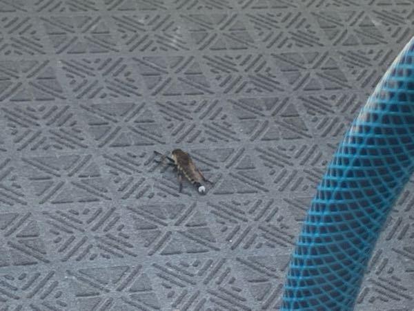 【虫注意】 この虫なんていう名前ですか? 初めて見るので教えていただきたいです。