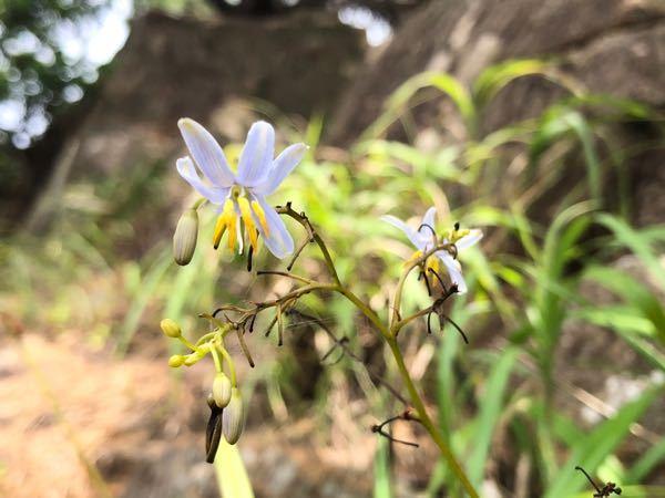 これはなんという草花ですか? 高知県の海沿いの岩肌で撮影しました。 よろしくお願いします。