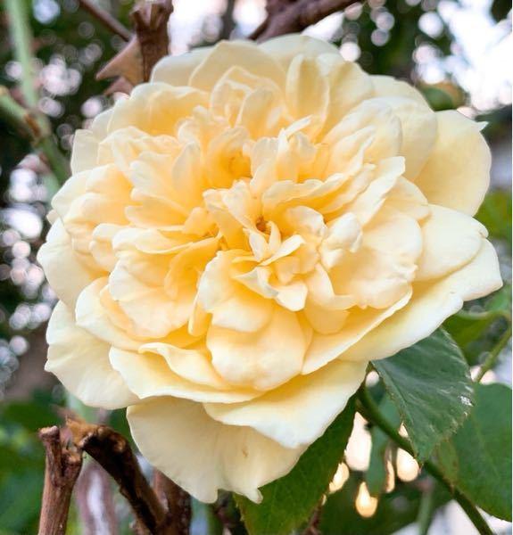 これってなんていう花でしょうか? 父にはバラと言っていた上、茎には棘があったのでバラには間違いないのですが正確にはバラ属のなんていう名前の花なんでしょう?