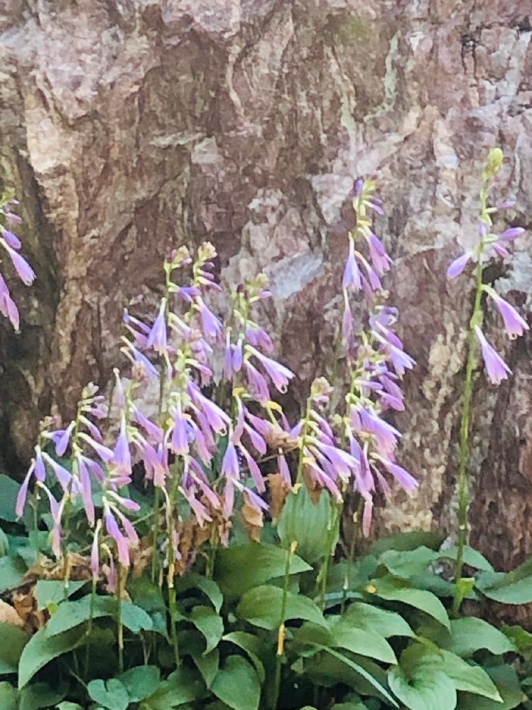 庭に植えていない、紫の花がたくさん咲き始めました。この花の名前、教えてください、よろしくお願いいたします