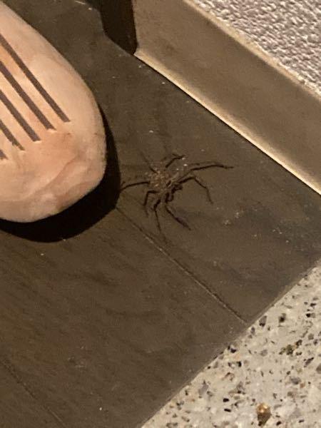 蜘蛛に詳しい方教えてください。 写真の蜘蛛が家にいたのですが毒性が等の害のある蜘蜘蛛でしょうか? よろしくお願いします。