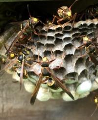 蜂の種類教えてほしいです   庭に蜂の巣がありました。 知らずに通り過ぎた時に刺されました。 自宅で様子みて痛みはないのですが心配になったので種類知りたいです