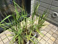 バケツ稲栽培をしているのですが、おかげさまで実ってきました。ちょっと稲が黄色いのですが、肥料をやろうと思ってます。 ここからはスズメに食べられないよう家の中に入れるか網を張るとかしたほうが良いのでしょうか? あと、注意点があったら教えていただけましたら嬉しく思います。 よろしくお願いします。