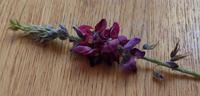 この野草?の名前を教えて下さい! 藤の花みたいと思ったら、めっちゃ藤の花の匂いがします!! 藤の花は木に咲きますが、これは、道端にワサワサと葉っぱを繁らせて生えていました! 去年見かけなかった庭の一角に、今年同じものを見付けてギョッとしました。