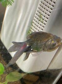 うちで飼っている青文魚です まだ水槽に入れて一週間経たないんですが尾ビレの根元に赤い模様が出てきました。何かの病気でしょうか…?