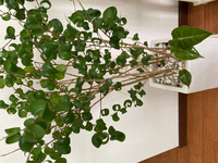 観葉植物のベンジャミンバロックの根本から新しい茎が生えてきましたが、これはベンジャミンバロックですか? それともまた別の植物でしょうか?? 新しく生えてきた茎は薄いグリーン色で葉も柔らかいです。成長したらベンジャミンバロックのクルクルが出てくるのかな?と思ったりもしていますが・・・。