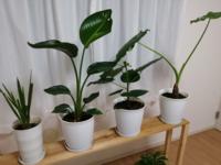 この画像の観葉植物たちの植木鉢は小さいですか? 植木鉢の大きさは横20センチ縦30センチくらいです。  こんばんわ  ストレチアオーガスタ、ウンベラータ、クワズイモです。  状況としましてはオーガスタとウンベラータは1ヶ月前にホームセンターで買ってきて植え替えしました、クワズイモは2ヶ月前にホームセンターで買ってきました。  全員根っこはしっかりしています。  オーガスタは新芽が出るというよ...