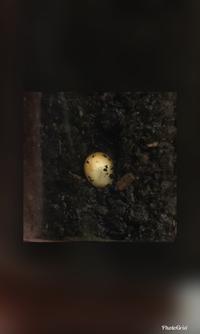 このカブトムシの卵は孵化しますか?