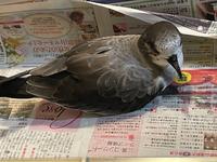 この鳥、何の鳥かわかる方いらっしゃいますか? 水かきがあってくちばしが黒くて細く下向きに曲がっています