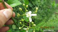 蔓植物の名前を教えてください、 岐阜県米田白山で、 撮影20210822