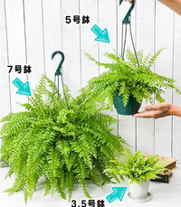 ネフロレピス(ボストンファーン)を育てています。葉がかなり繁ってきてとても大きく垂れ下がってきてるのですが一回り大きい鉢に植え替える目安ってどれくらいですか? 今は鉢の底から根っこが出ていることもないし、すぐ土が乾いてしまうこともないのでまだ先かなあとは思うのですが。(画像の7号の分を育ててます)