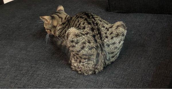 半年の脚長マンチカンを飼っています。 体重等は適切な範囲なのですが、座っている(伏せている?)時の足の骨の形が気になります。 痛がっている様子はなく、思い返してみると時々このような座り方をしています。 猫はこんなものなのでしょうか。異常があるのか心配になってしまい投稿しました。 猫飼っている方皆さんの家ではどうですか?