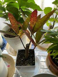 クロトンの葉が赤くなり落ちてきました。 何が原因でしょうか? 日当たりはよく霧吹きをしょっちゅうします。根に水は1〜2週間に1回です。