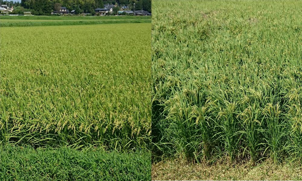 道路を挟んで向かい合っている稲たちです。 農家の方ならこの苗を見ただけで種類がわかりますか? ちなみに両方同じ日に撮影したものです。