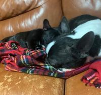 先住犬と後輩犬が仲良くしてくれません。 もうすぐ1年が経つのですが、ずっとワンワンいいながら噛み合ったり引っ張りあっこしたりしています、、 これは犬同士の遊びなんですか? 一緒に出すとすごく騒がしいんです、、  冬場限定でこんな感じで寝てくれる時もあります笑