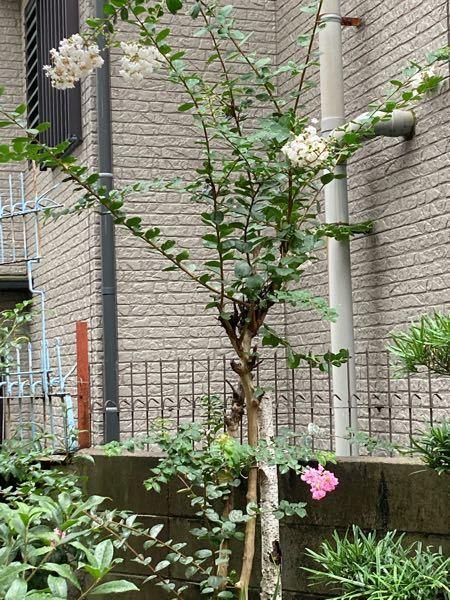 識者の方、何の木かわかりますか? 白とピンクの花が咲きました。