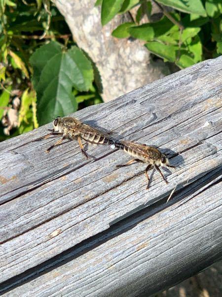 この昆虫の名前は何ですか?