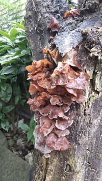 枯れた木に沢山生えてきたのですが キクラゲでしょうか?
