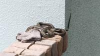玄関先にヘビがいました。 15年ほど住んでいて、はじめてのことです。  何へびでしょうか? 毒はありますか?  よろしくお願いいたします。